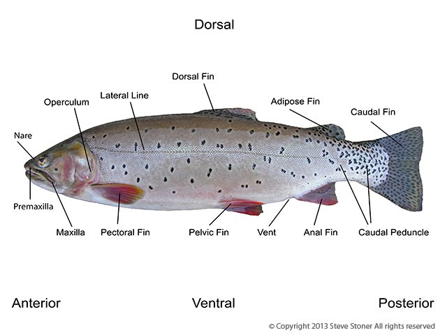 Brown Trout Anatomy Diagrams - Residential Electrical Symbols •